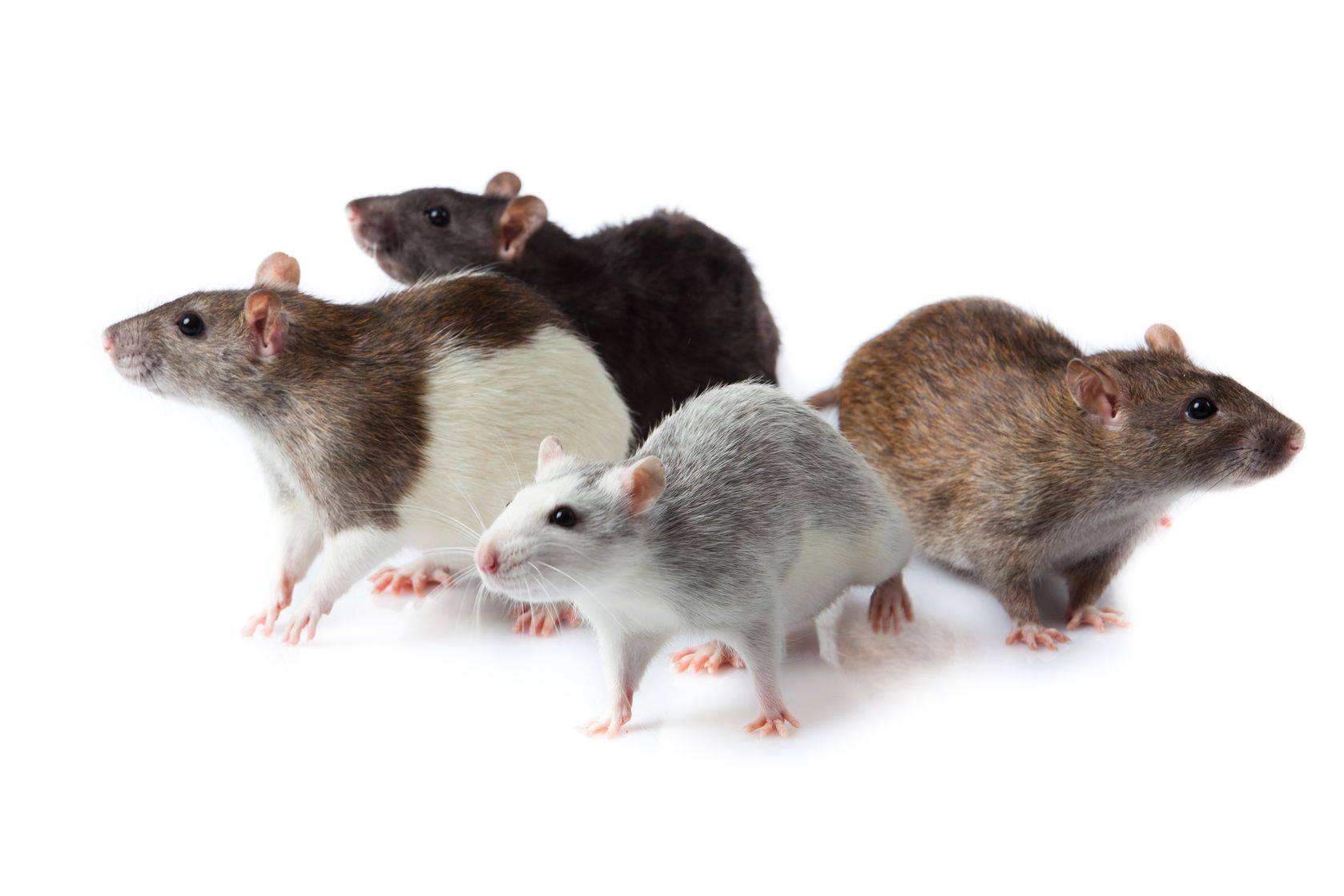 "Featured image for ""Die Inti: Integration neuer Ratten in bestehendes Rudel"""