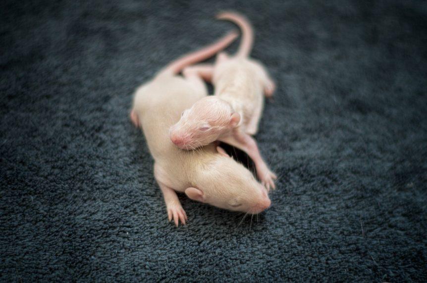 Zwei Jungtiere einer Mutterratte mit Mastitis. Eines der Tiere ist deutlich in der Entwicklung zurück.