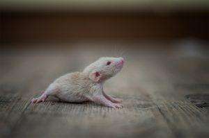 Rattenbabies B-Wurf Tag 16 Beauty