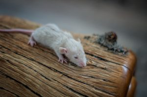 Rattenbabies B-Wurf Tag 17 Babe