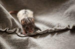 Rattenbabies B-Wurf Tag 17 Balthasar - vom Milchbrei verklebt