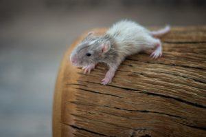 Rattenbabies B-Wurf Tag 17 Bartholomäus - vom Milchbrei etwas verklebt