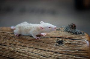 Rattenbabies B-Wurf Tag 17 Becky