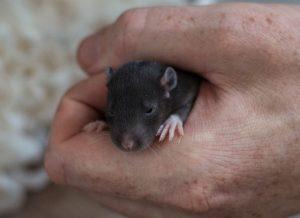 Entwicklung der Ratte Tag 14 Augen auf