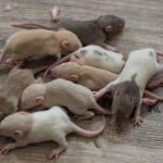 Development of the Rat Day 14 guys