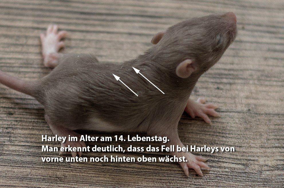 Entwicklung der Ratte Tag 14 Harley