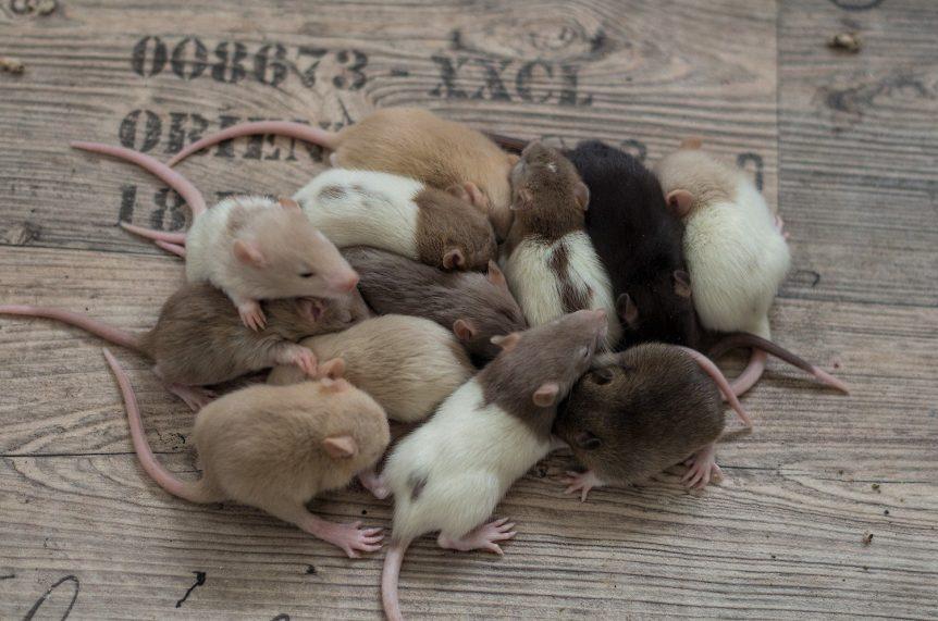 Entwicklung der Ratte Tag 18