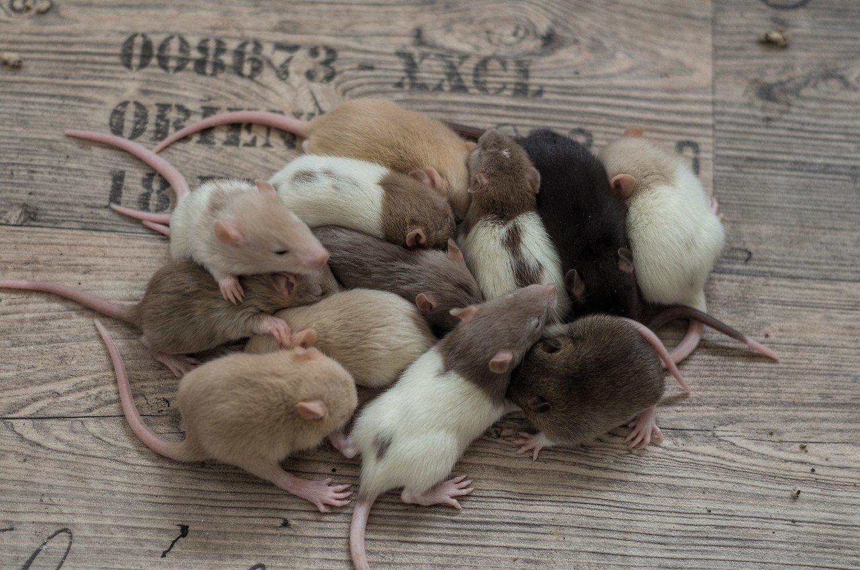 """Featured image for """"Warum Ratten im Rudel gehalten werden sollten"""""""