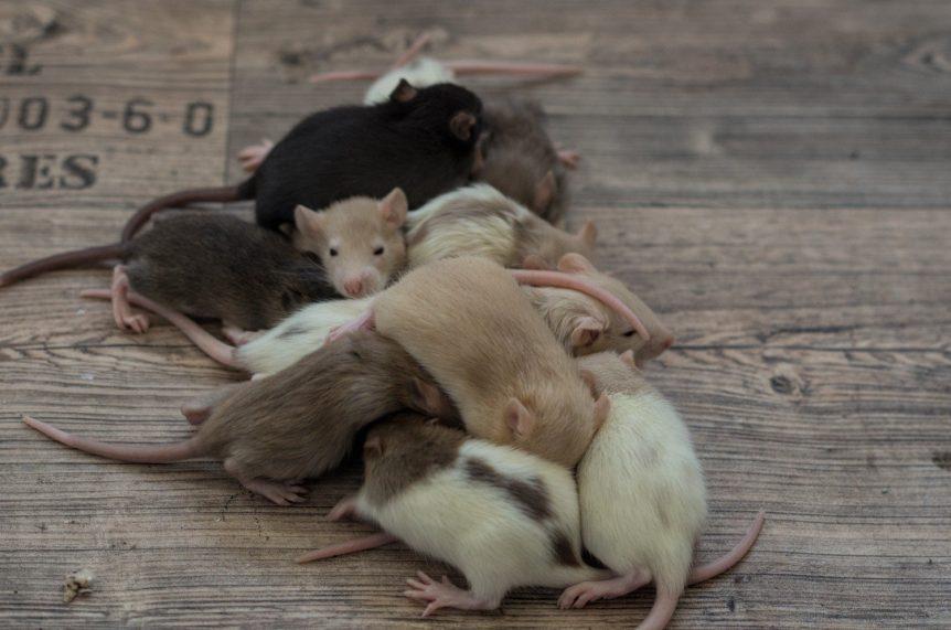 Entwicklung der Ratte Tag 19