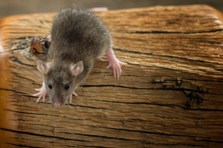 Entwicklung der Ratte Tag 24, Amelie
