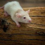 Entwicklung der Ratte Tag 25 - Adonis