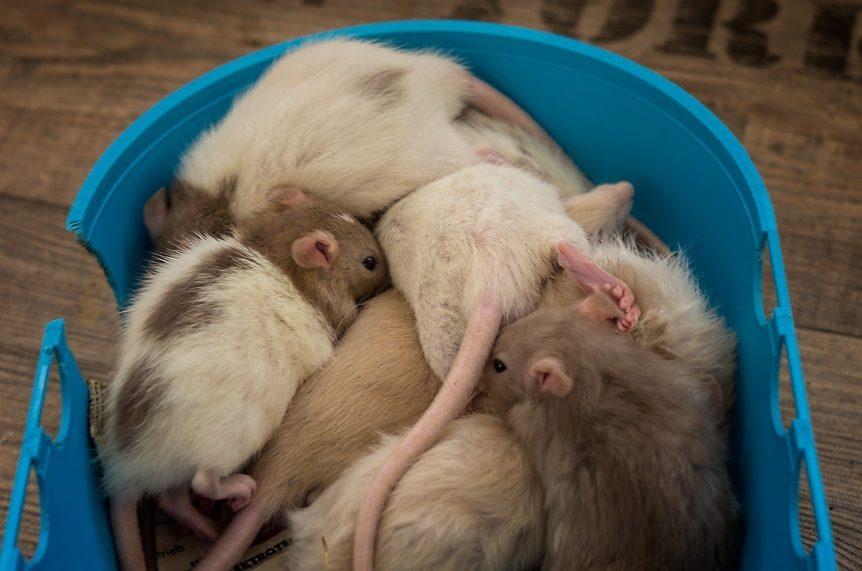 Entwicklung der Ratte Tag 32