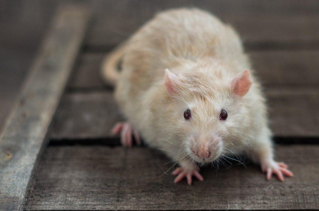 Ratte Jim am 1.5.2017. Topaz self