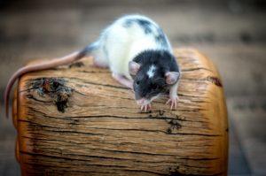 Lilo, Ratte Black Variegated Dumbo