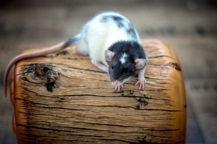 Lilo, Ratte Black Variegated Dumbo