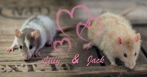 Ratten Wurfankündigung Lilly & Jack