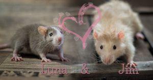 Ratten Wurf Luna & Jim