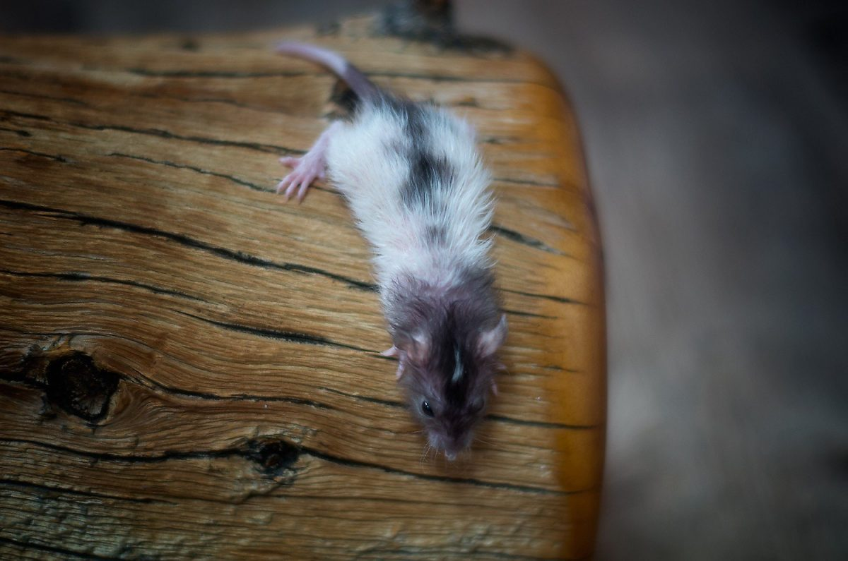 Rattenbabies B-Wurf Tag 21 Balthasar