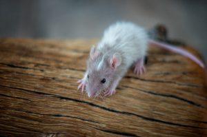 Rattenbabies B-Wurf Tag 21 Bartholomäus