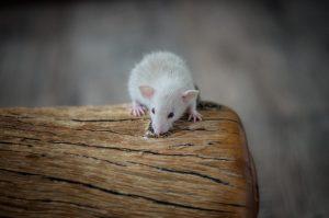 Rattenbabies B-Wurf Tag 21 Beauty