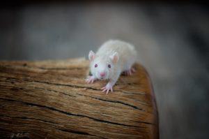 Rattenbabies B-Wurf Tag 21 Becky