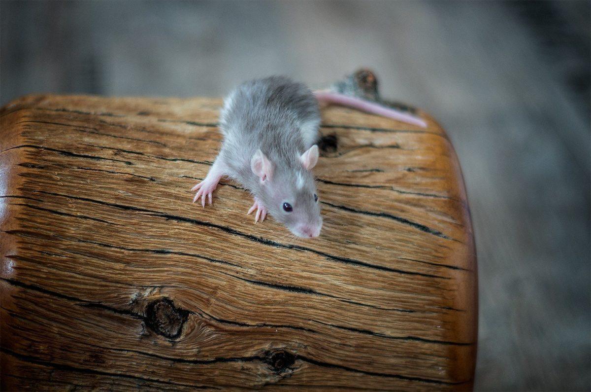 Rattenbabies B-Wurf Tag 21 Bella