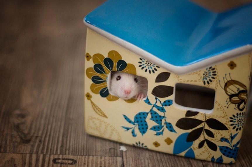 Rattenbabies B-Wurf Tag 24 Beauty