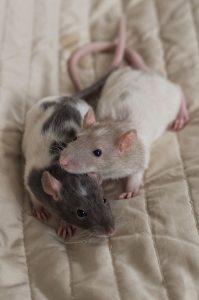 Rattenbabies B-Wurf Tag 29 Bartholomäus & Balthasar