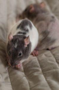 Rattenbabies B-Wurf Tag 29 Balthasar