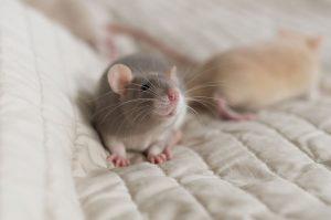 Rattenbabies B-Wurf Tag 29 Bella