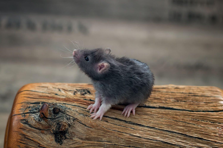 Ratten C-Wurf 23.07.2017 Ceridwen