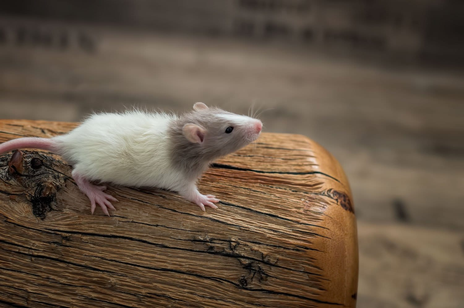 Ratten C-Wurf 23.07.2017 Caiside