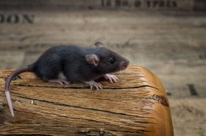 Ratten C-Wurf 23.07.2017 Chester