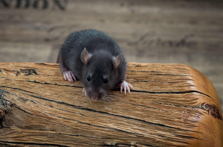 Ratten C-Wurf 23.07.2017 Collin