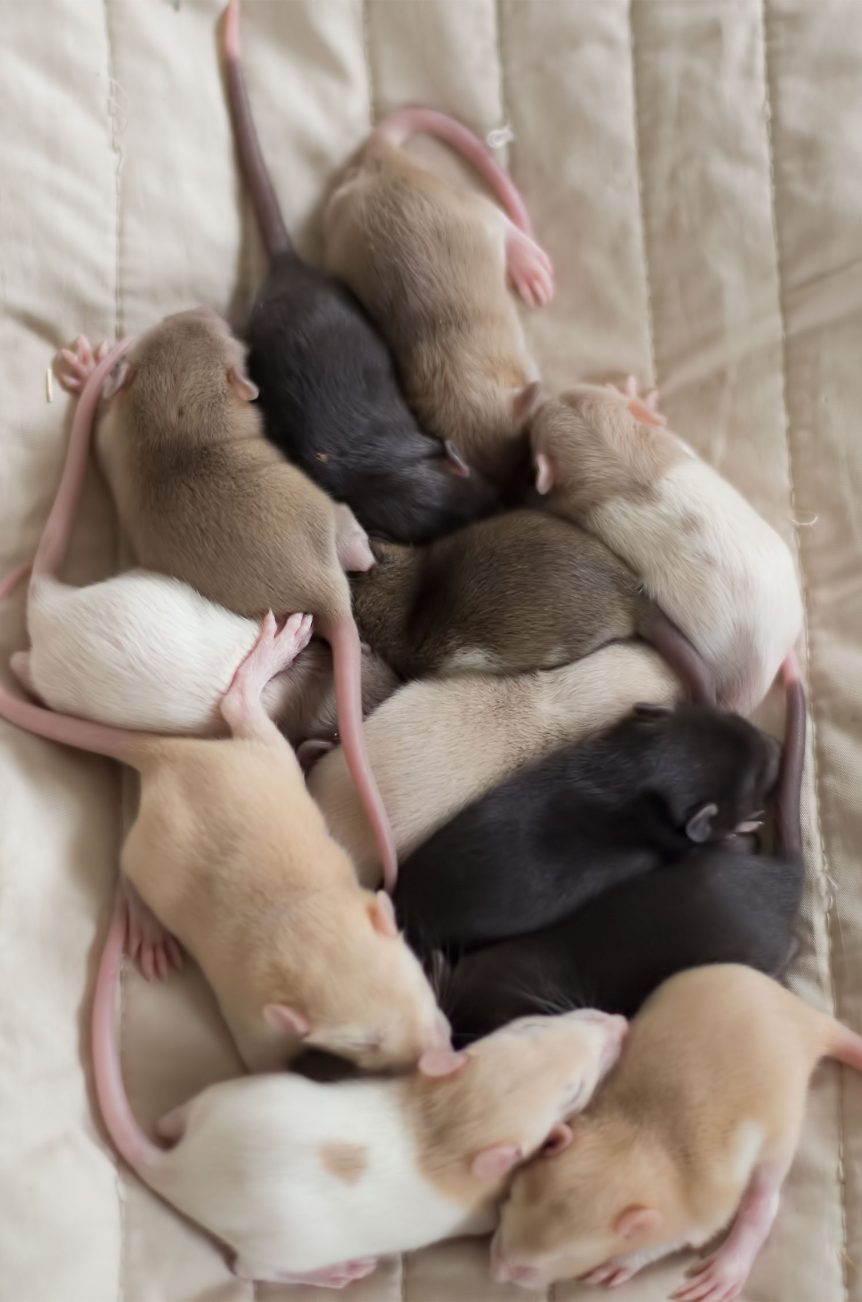 Ratten C-Wurf Tag 13