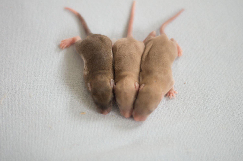 Ratten C-Wurf Tag 9 mittel
