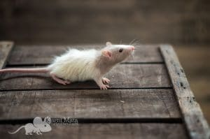 Ratten C-Wurf Caiside 29.97.17
