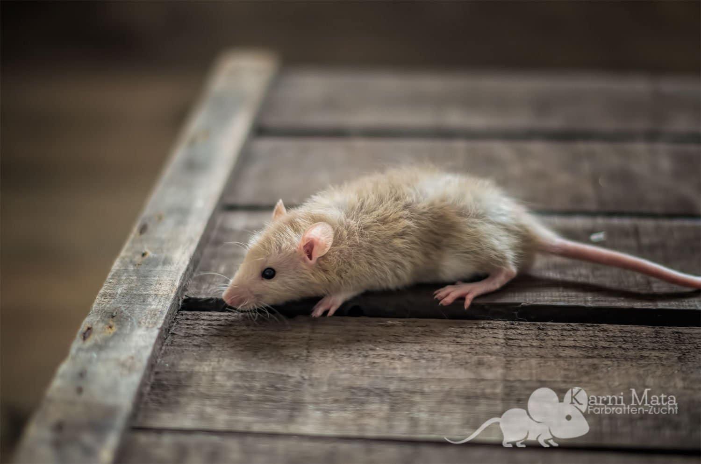 Ratten C-Wurf Casanova 29.97.17