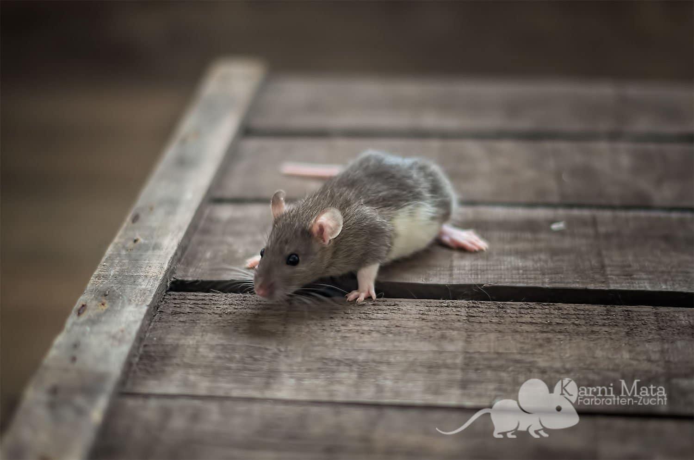 Ratten C-Wurf Chanel 29.97.17