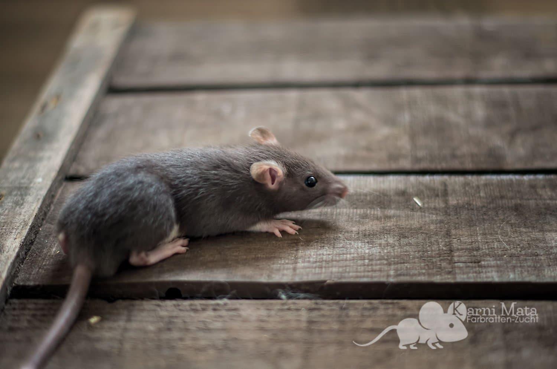 Ratten C-Wurf Chester 29.97.17