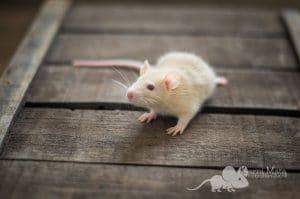 Ratten C-Wurf Chloe 29.97.17