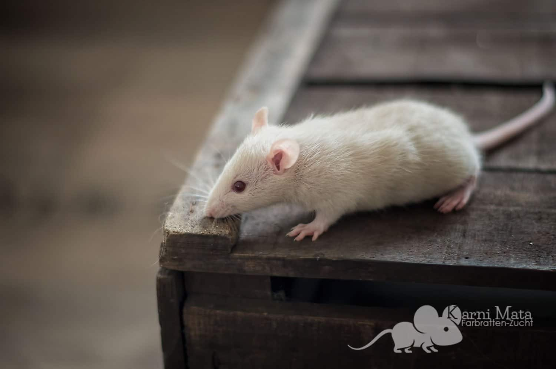 Ratten C-Wurf Chrissy 29.97.17