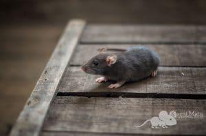 Ratten C-Wurf Collin 29.97.17