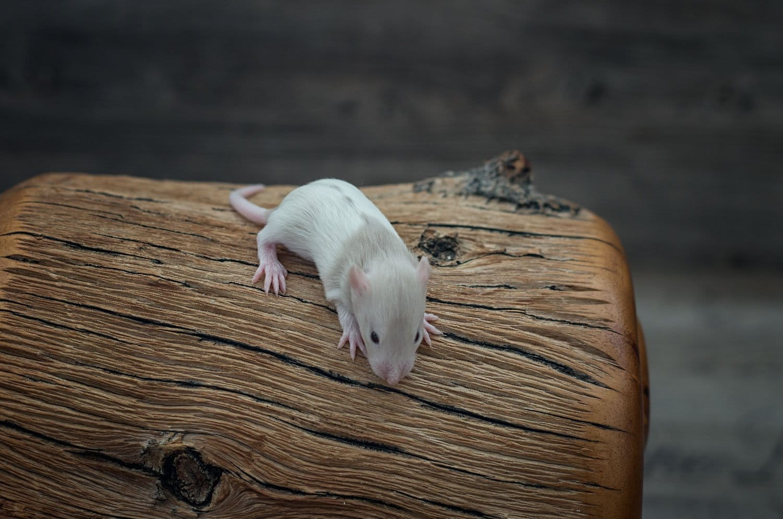 Ratten C-Wurf Tag 16 Calix