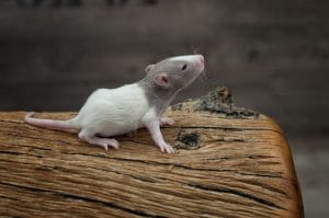 Ratten C-Wurf Tag 16 Caiside