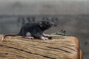 Ratten C-Wurf Tag 16 Caleb