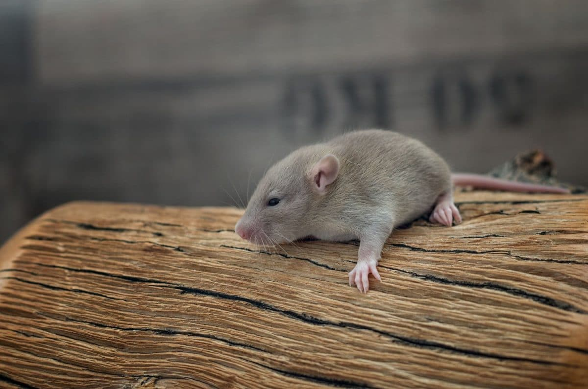 Ratten C-Wurf Tag 16 Caspar