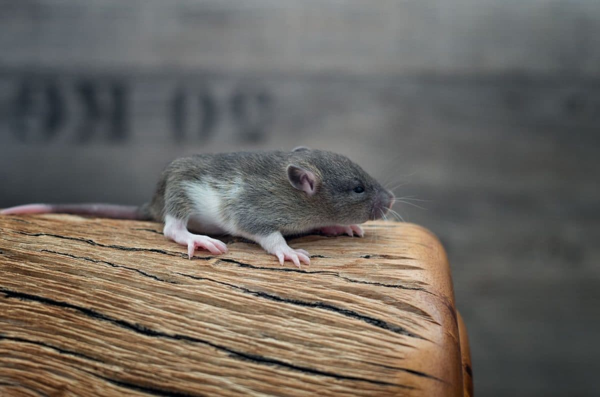 Ratten C-Wurf Tag 16 Chanel