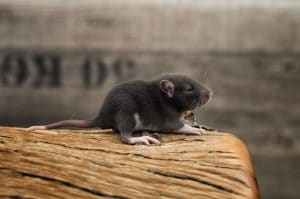 Ratten C-Wurf Tag 16 Chester