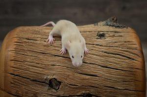 Ratten C-Wurf Tag 16 Chloe